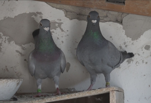 Messzire viszik városunk hírnevét a galambok